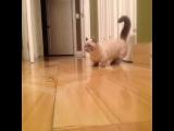 посаженный кот) манчкин)